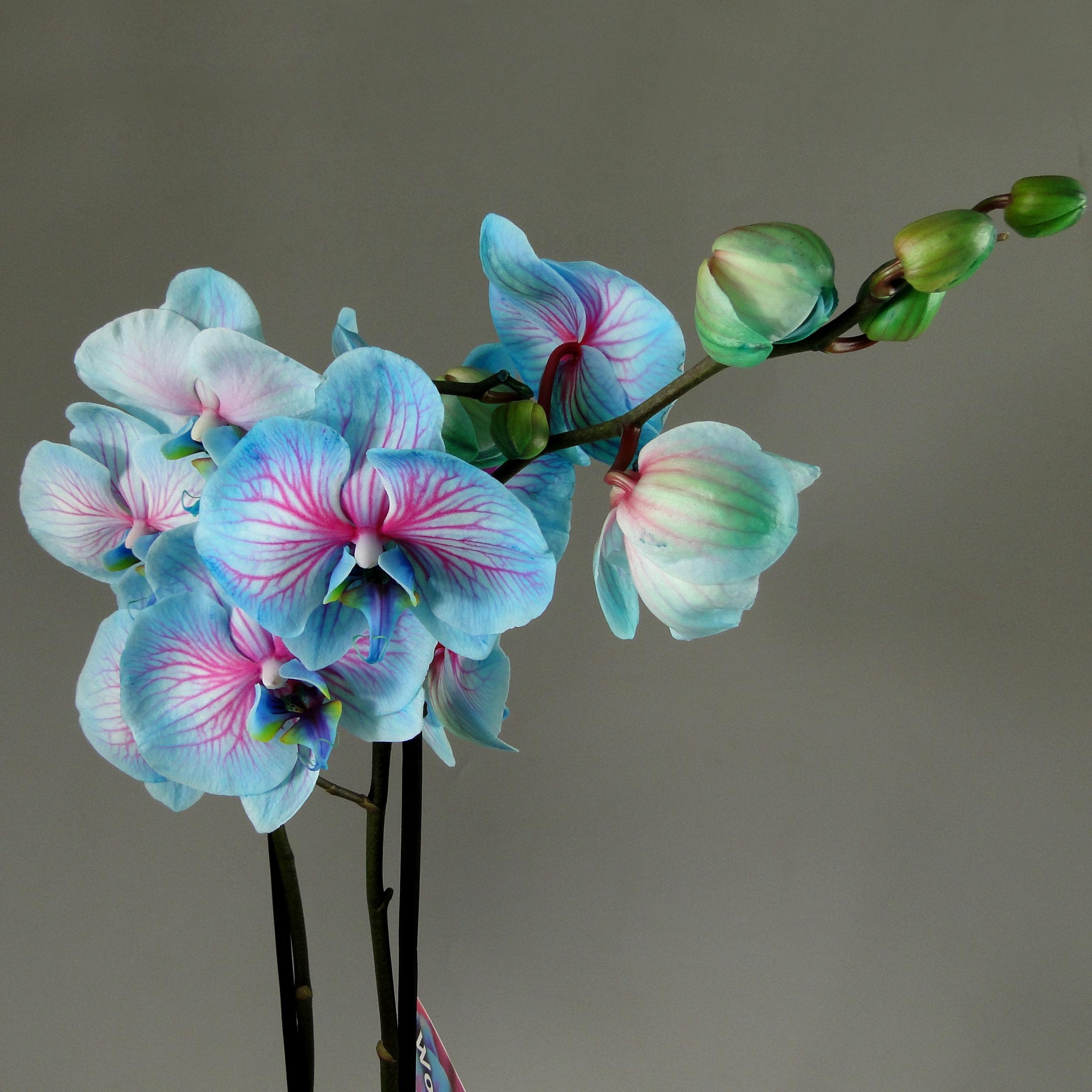 Орхидея фаленопсис голубая с розовым