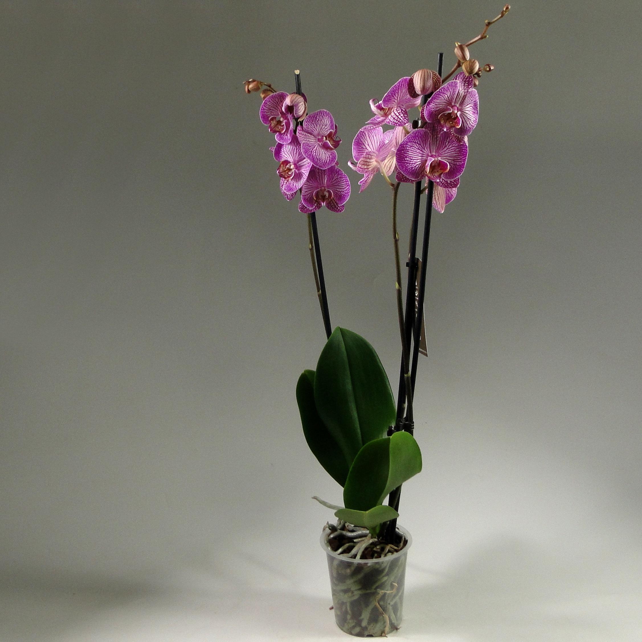 Орхидея фаленопсис Nemo