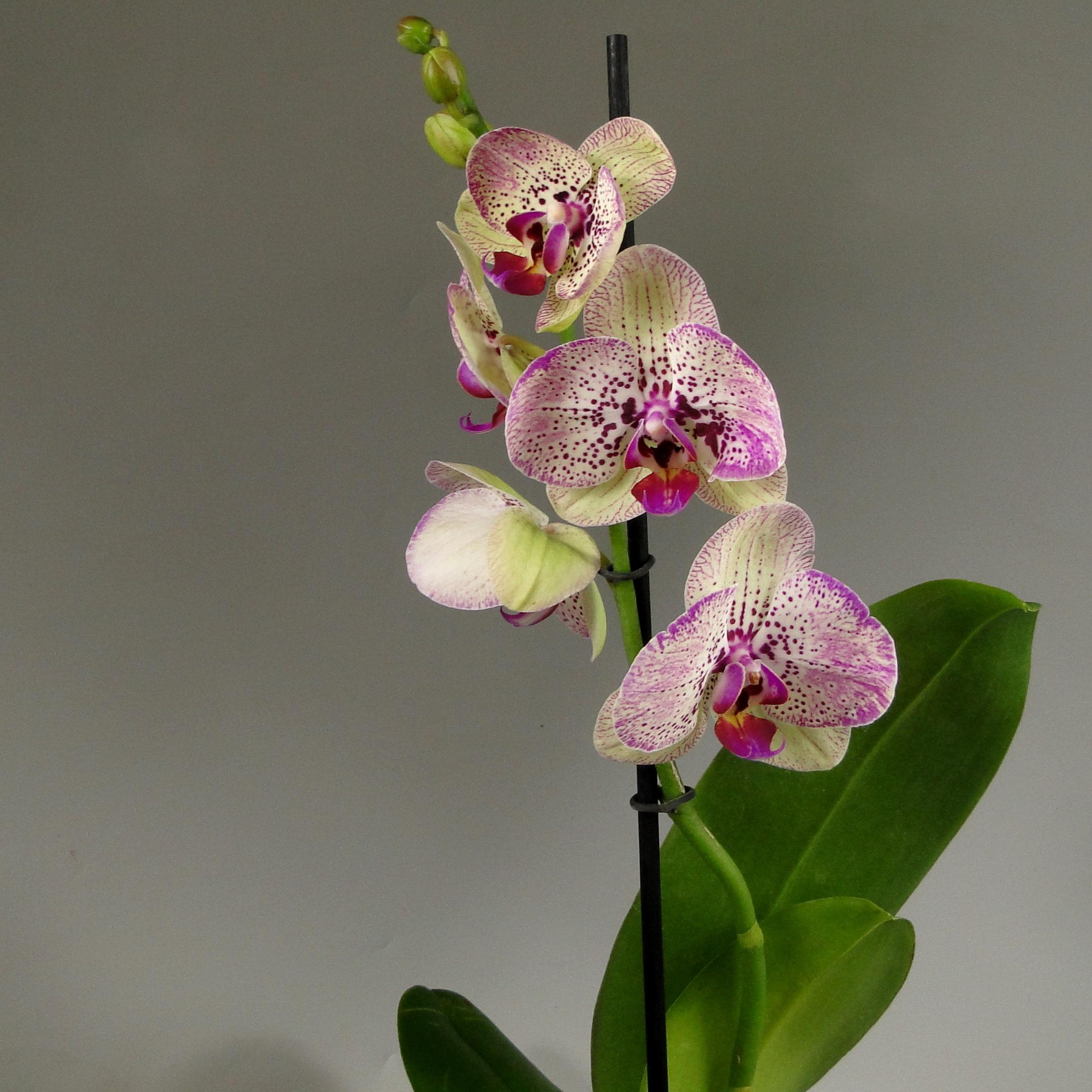 Орхидея фаленопсис Cleopatra 1 ст