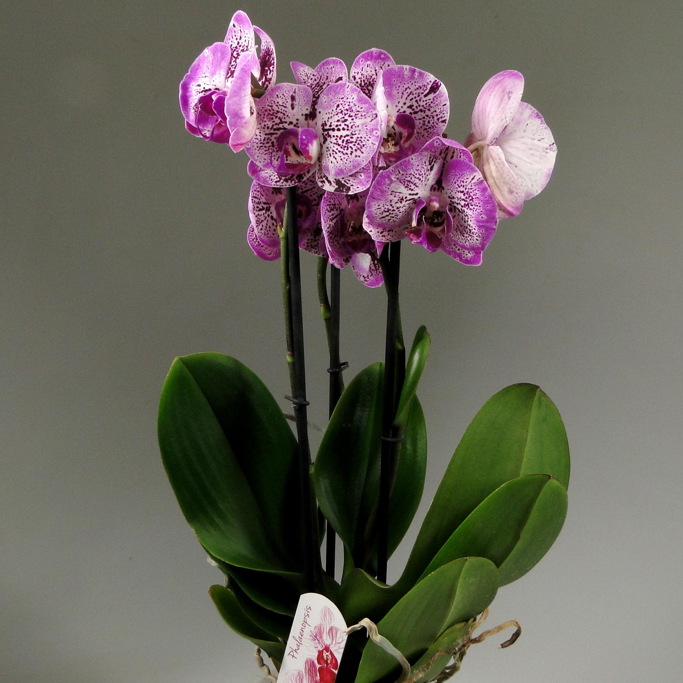 Орхидея фаленопсис MELODY 3 ст