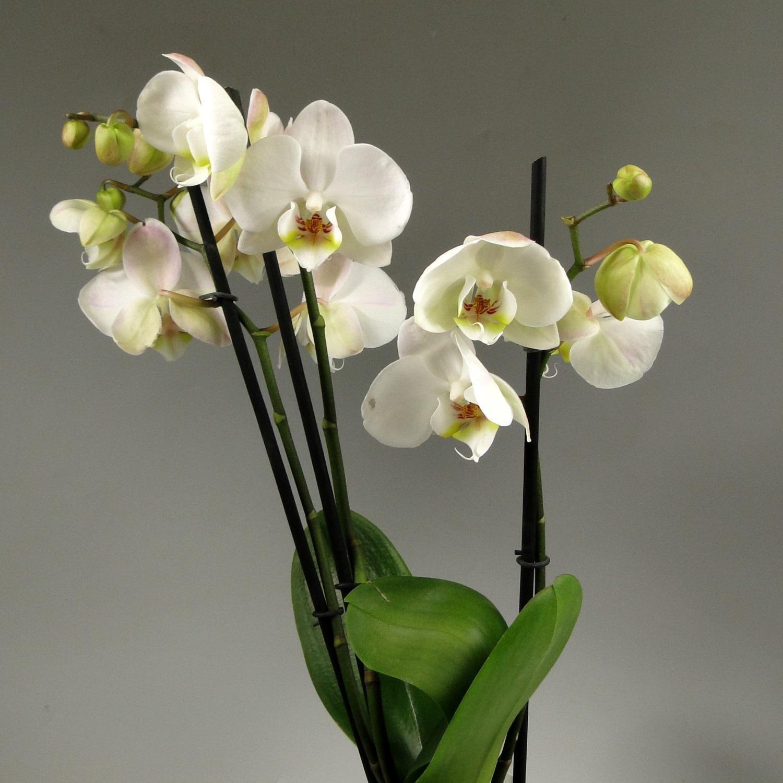 Орхидея фаленопсис Alaska 3 ст