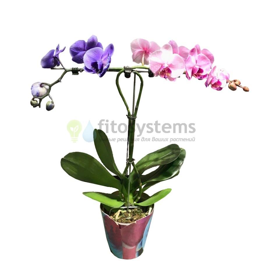 Орхидея фаленопсис Пурпурный + Розовый