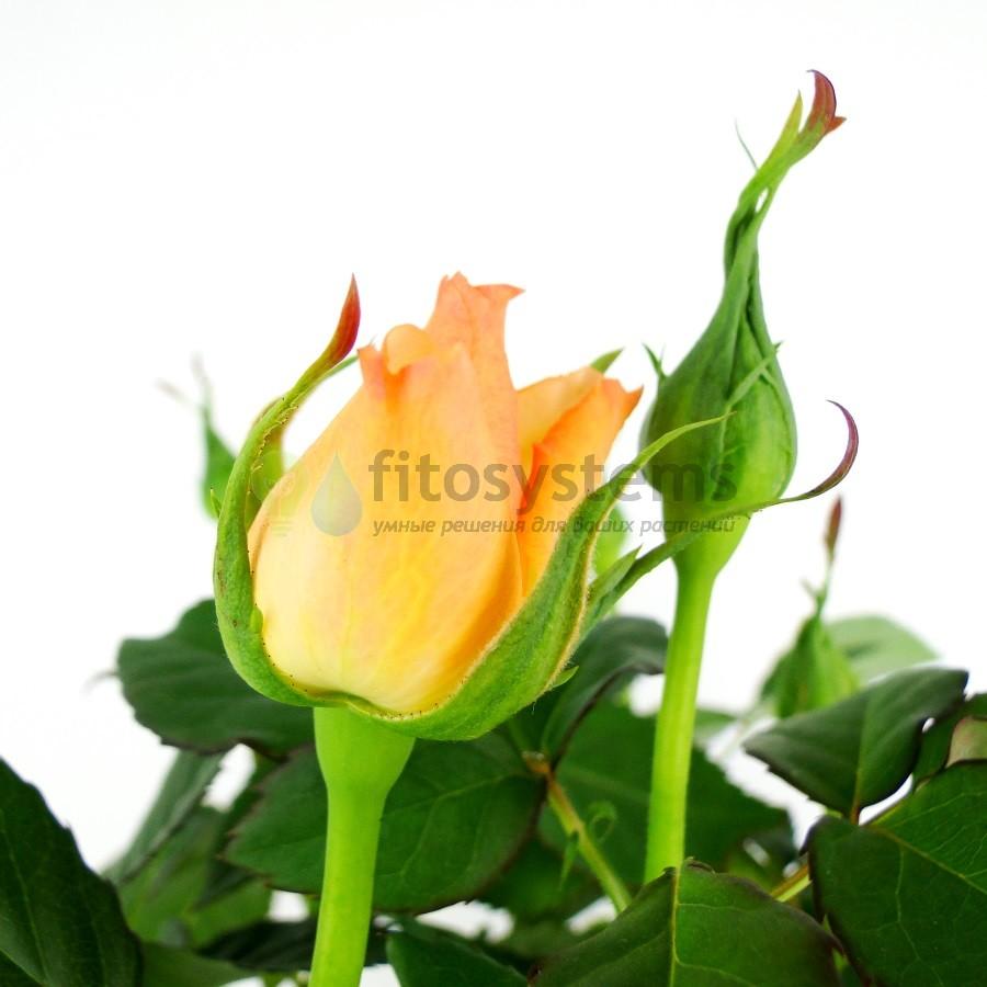 Роза Патио оранжевая 35/12