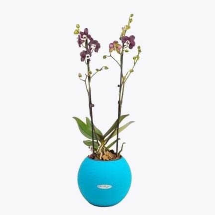 Орхидея Каода + Lechuza puro color