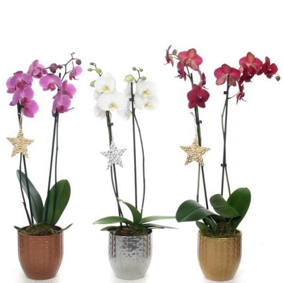 Орхидея Фаленопсис в новогодней керамике