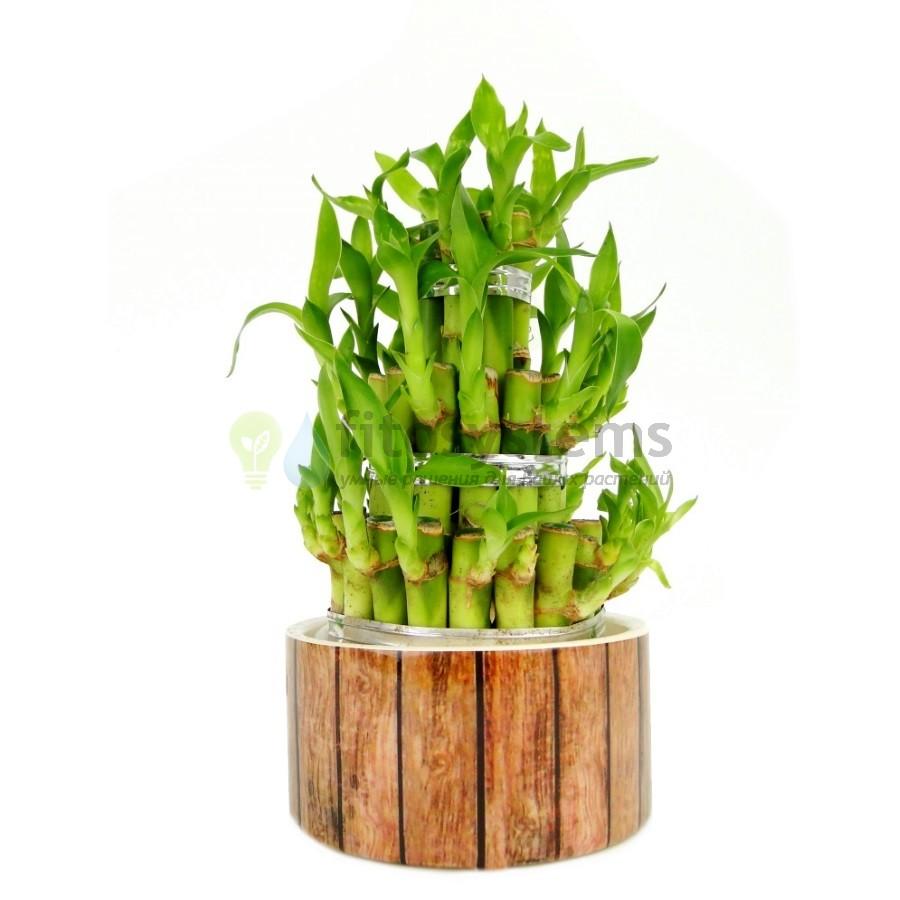 Бамбук лаки (Дерево удачи) в керамике