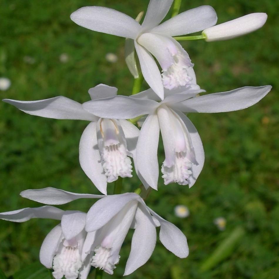 Орхидея блетилла альба