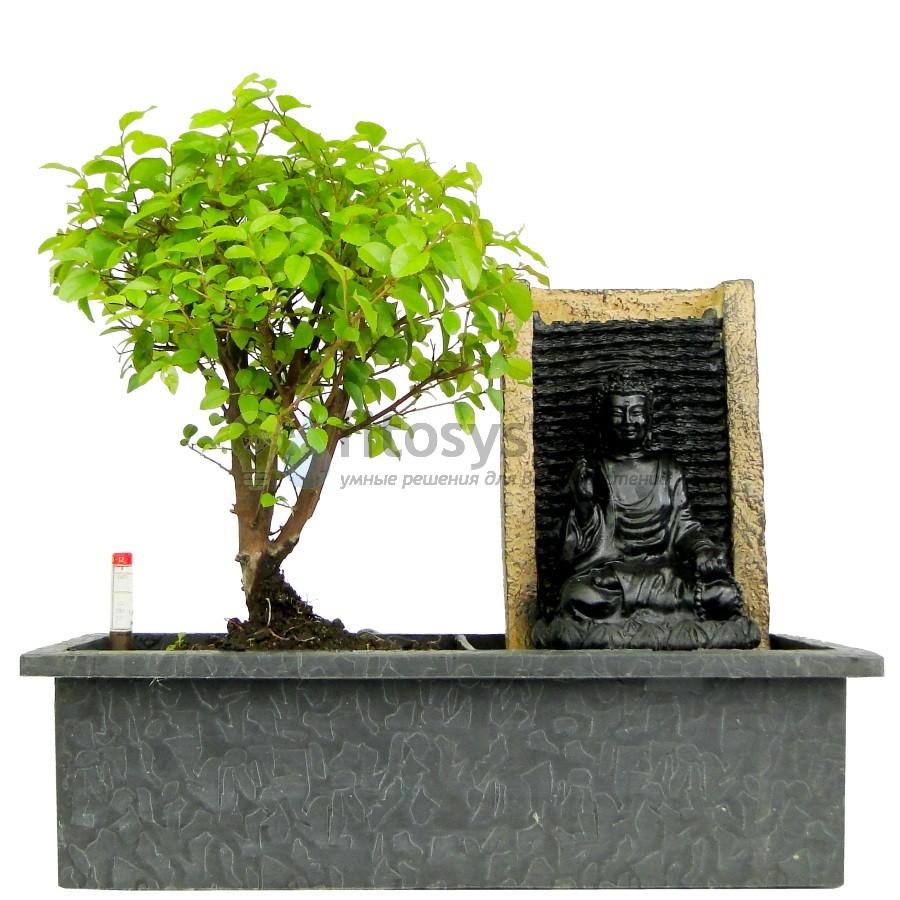 Бонсай Сагеретия «Водопад Будды» 30 см