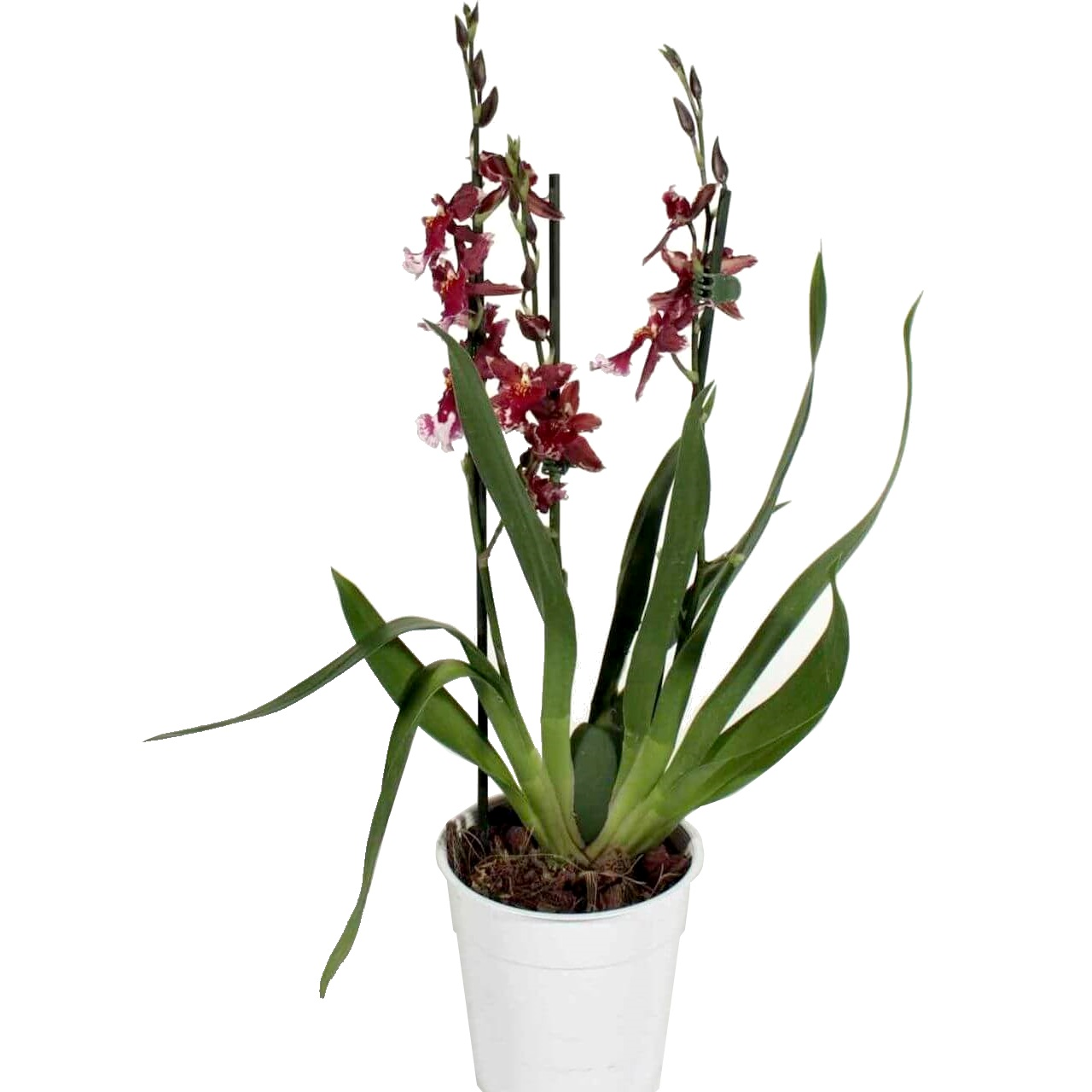 Орхидея Камбрия Буррагеара Лацио