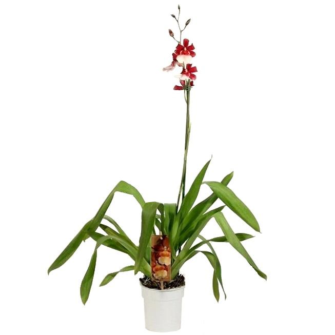 Орхидея Камбрия бартли шварц
