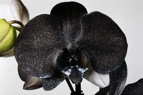 Чёрная орхидея Metallic Black 2 ствола АКЦИЯ