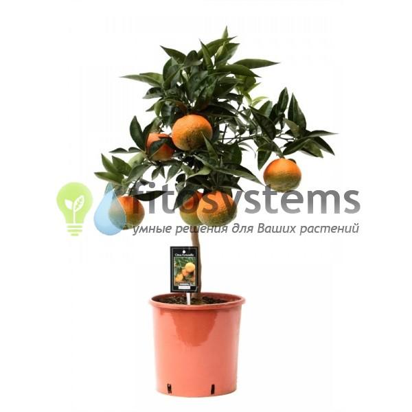 Цитрус Апельсин штамбовый 85/23