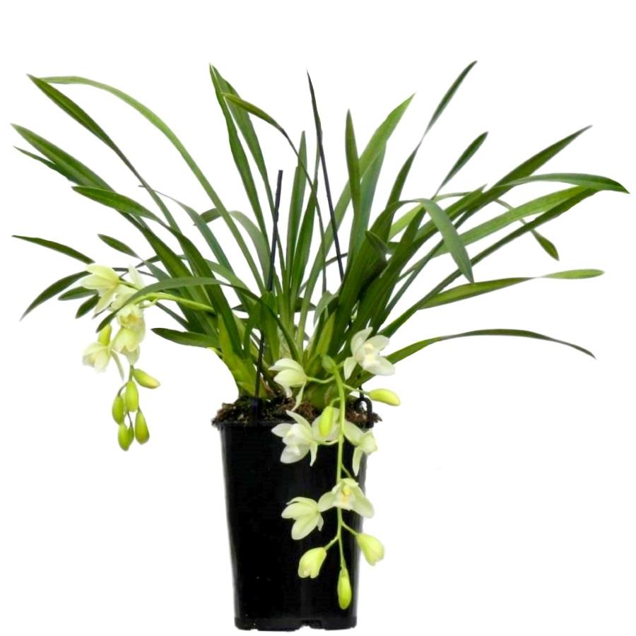 Орхидея Цимбидиум Айс Каскад