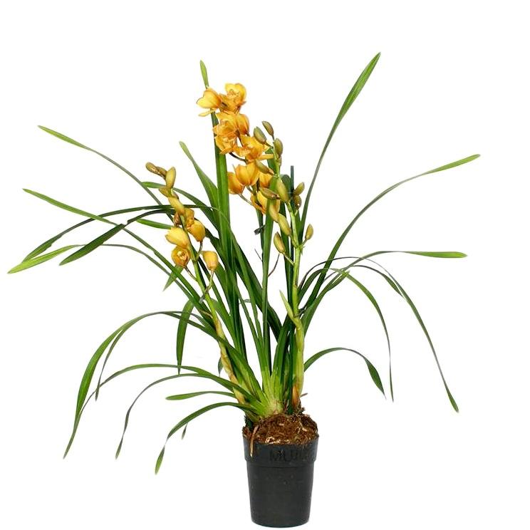 Орхидея цимбидиум желтый Сью