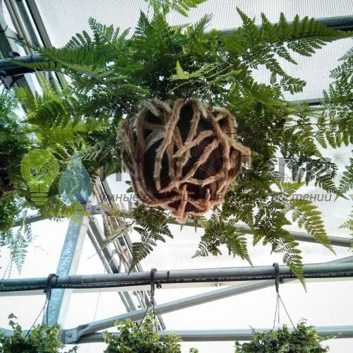Даваллия подвесная диаметр горшка 40 см