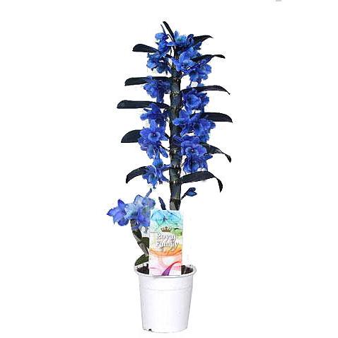 Орхидея дендробиум синий (голубой) 1ст