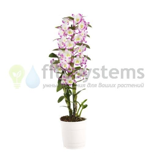 Орхидея дендробиум нобиле ирен смайл 1ст