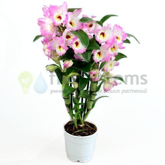 Орхидея дендробиум нобиле кумико 3ст
