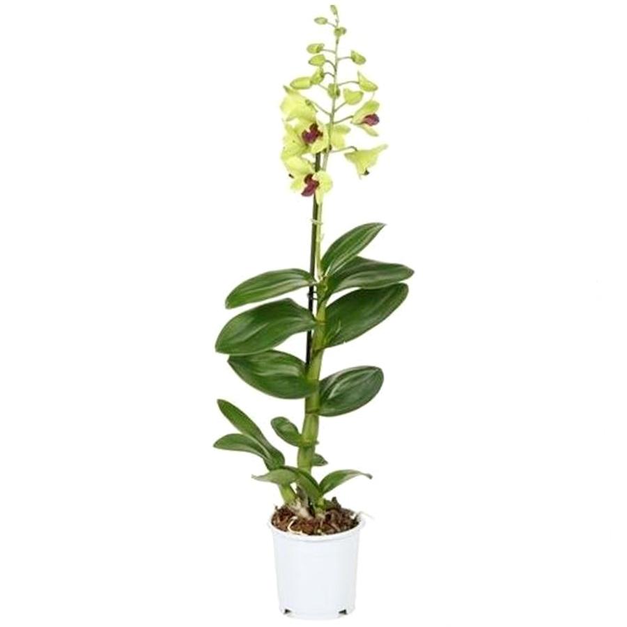 Орхидея дендробиум санок Анна Грин
