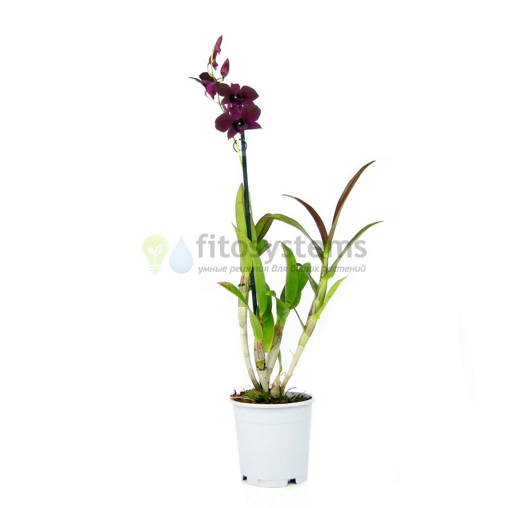 Орхидея Дендробиум Санок Тай Блэк
