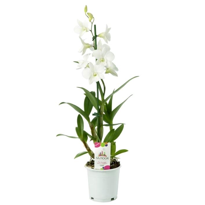 Орхидея дендробиум санок Коконат Дрим