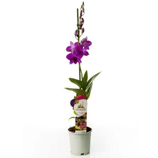 Орхидея дендробиум Pink Party