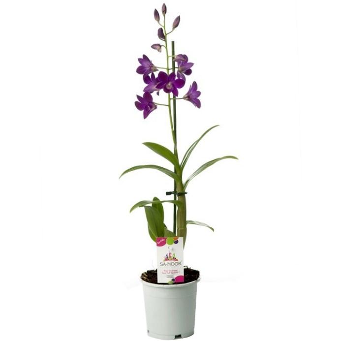 Орхидея дендробиум санок Purple