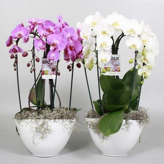 Орхидея фаленопсис  в керамике диана