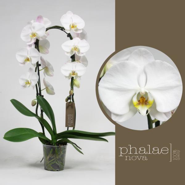 Орхидея фаленопсис белый каскад