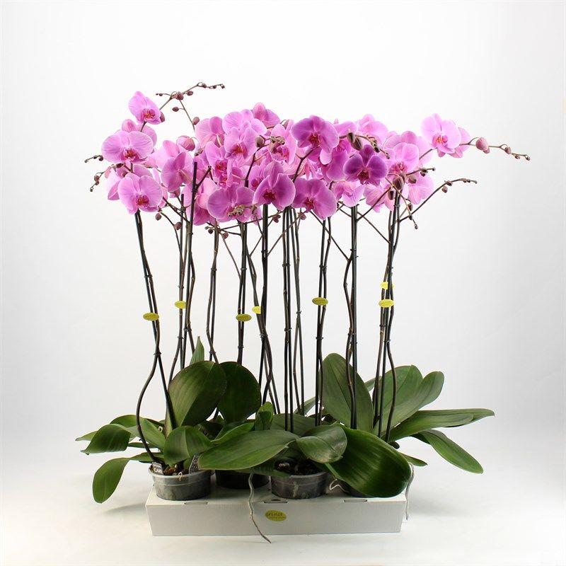 Орхидея фаленопсис бомбей