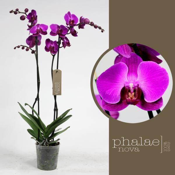 Орхидея фаленопсис дуэтто