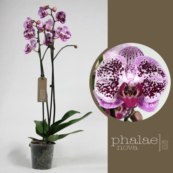 Орхидея фаленопсис элегант бьюти