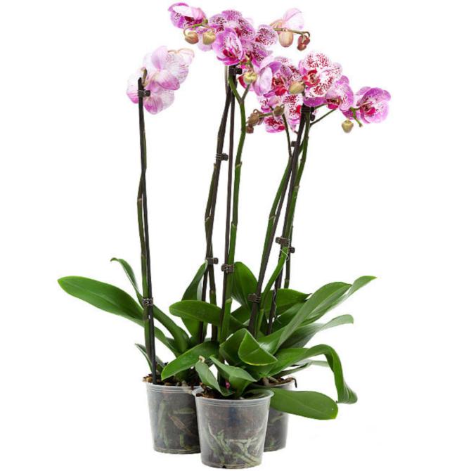Орхидея фаленопсис элегант юнтл