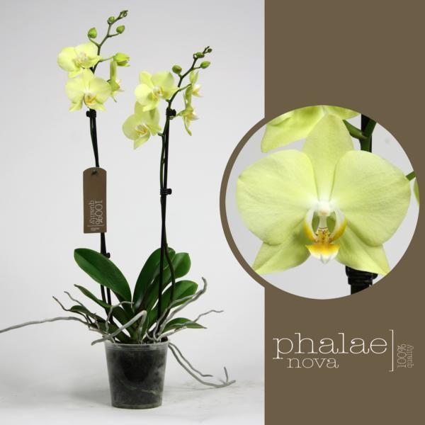 Орхидея фаленопсис еллоу баттерфлай