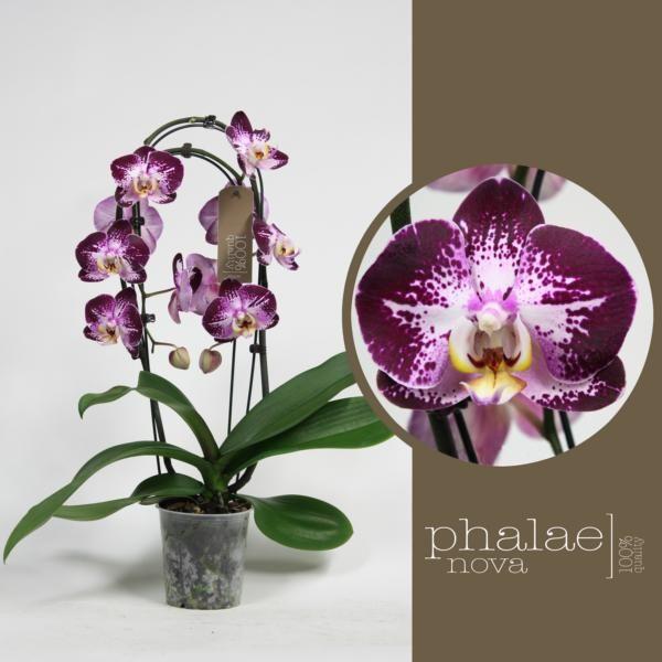 Орхидея фаленопсис на круглой опоре