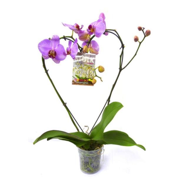 Орхидея фаленопсис форма сердце