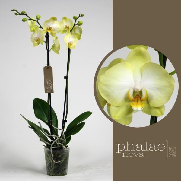 Орхидея фаленопсис голден ягуар