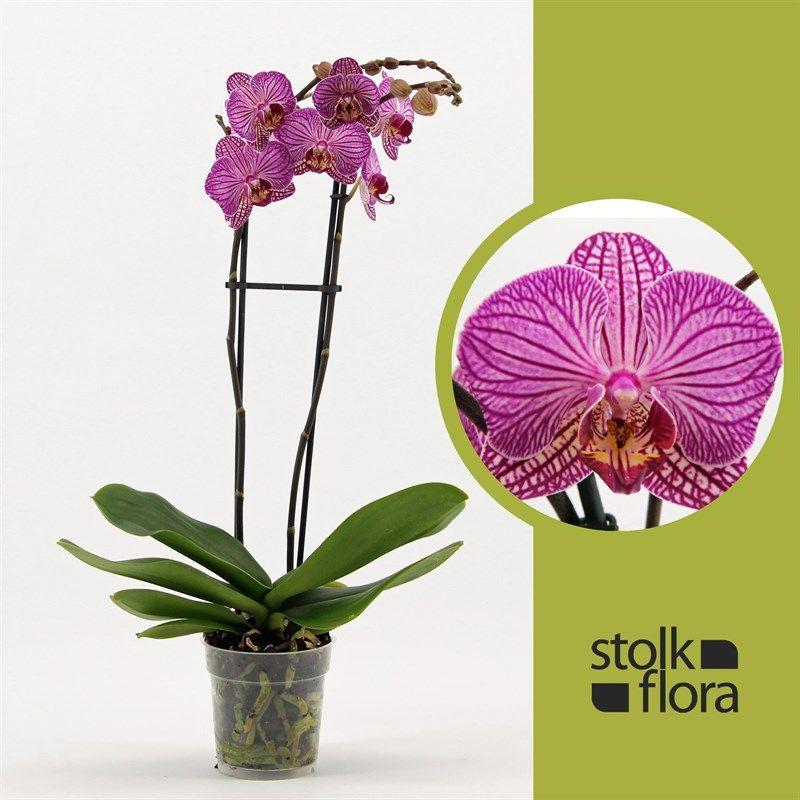 Орхидея фаленопсис хеппи минхо