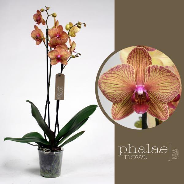 Орхидея фаленопсис калейдоскоп