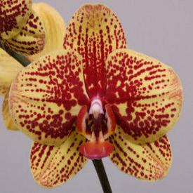 Орхидея фаленопсис карин алоха