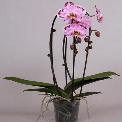 Орхидея фаленопсис каскад пинк дансер