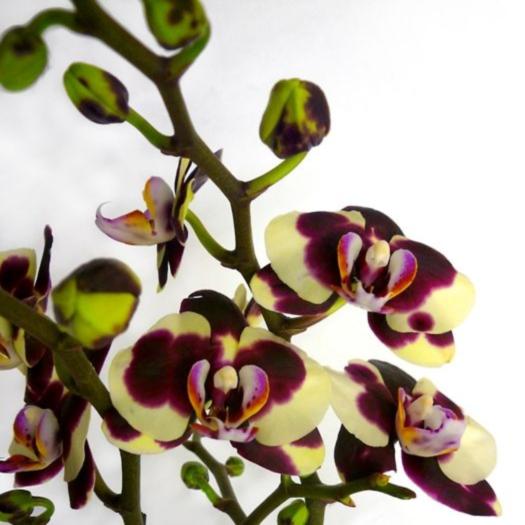 Орхидея фаленопсис лонжина