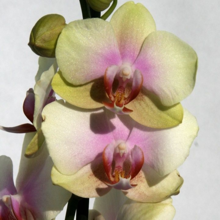 Орхидея фаленопсис меджикал