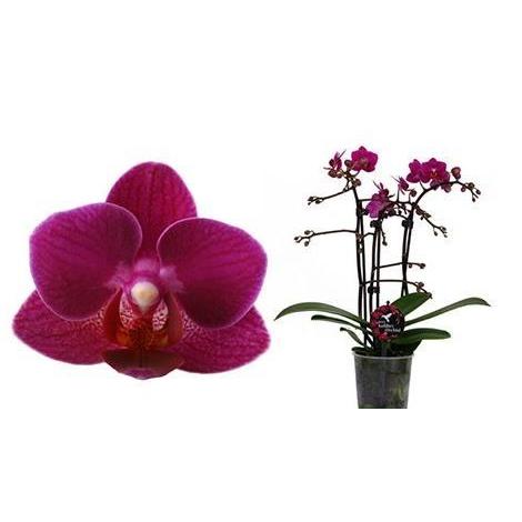 Орхидея фаленопсис мини колибри бразил