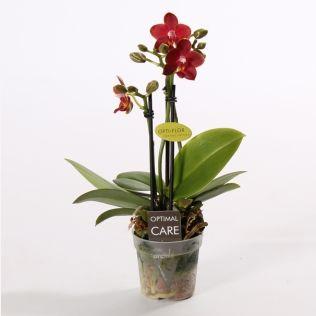 Орхидея фаленопсис мини колибри раша