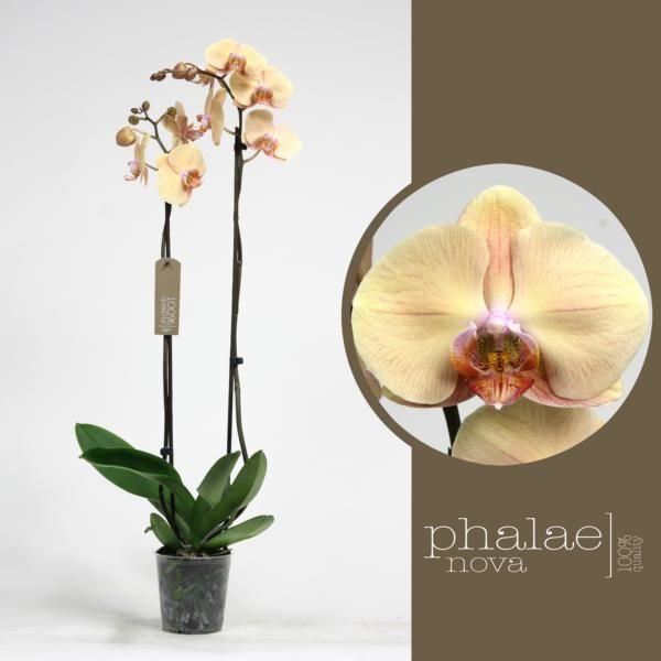 Орхидея фаленопсис оптимистик фентази