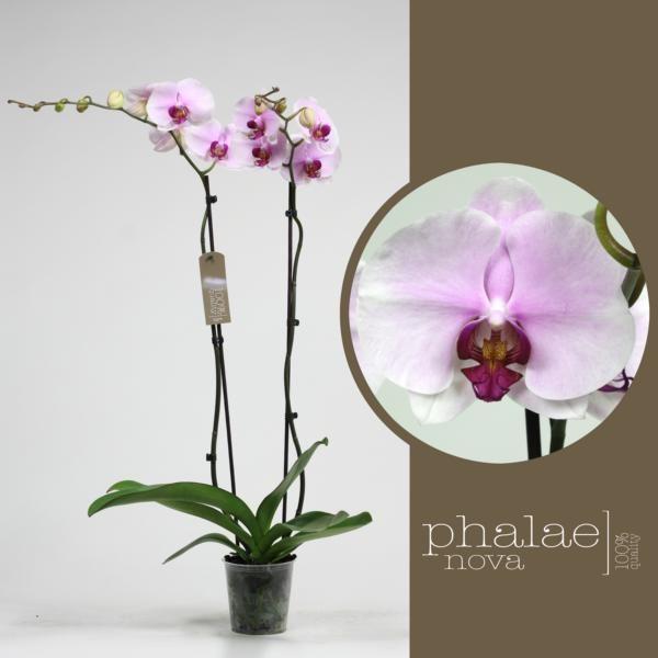 Орхидея фаленопсис пинк маунтайн