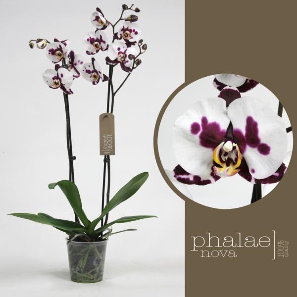 Орхидея фаленопсис полка дотс