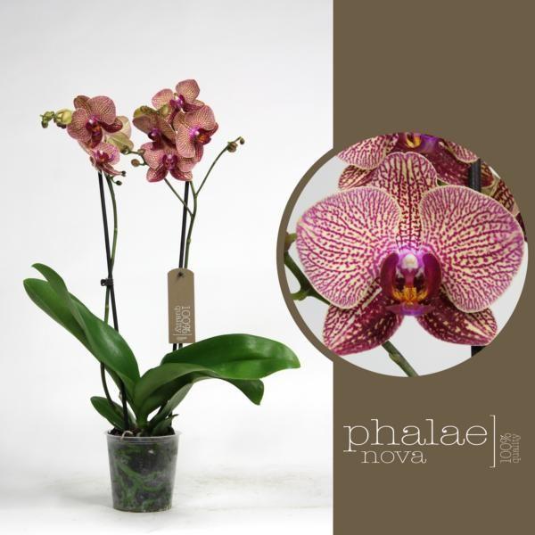 Орхидея фаленопсис равелло 2 ст