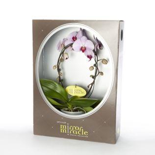 Фаленопсис зеркало в стекл кашпо и коробке